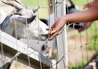 Goat at nursery