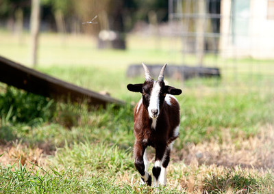 Goat runs at Thompson Farm