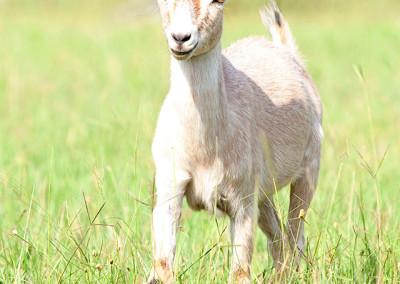 Farm animal plays at Thompson Nursery