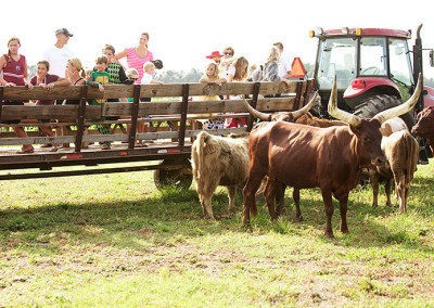 cattle by wagon ride