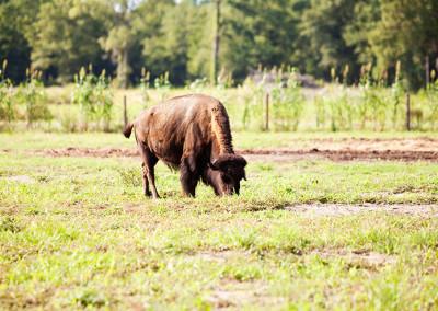 Farm animals graze