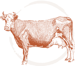 activity-cow
